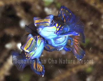 ニシキテグリ, Mandarinfish