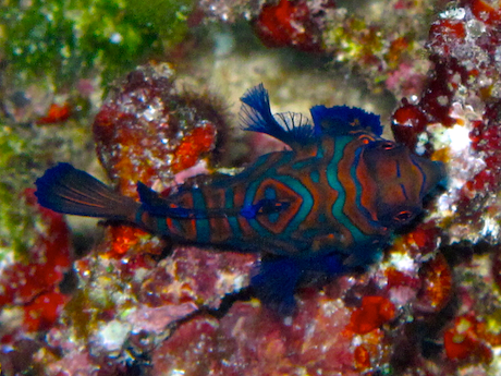 Mandarin fish, Mandarin doragonet fish, Mandarinfish