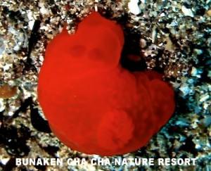キヌハダウミウシ属の一種