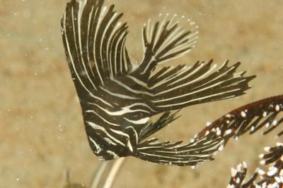 zebra bat fish