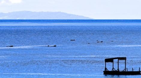 オキゴンドウクジラ、パイロットホエール