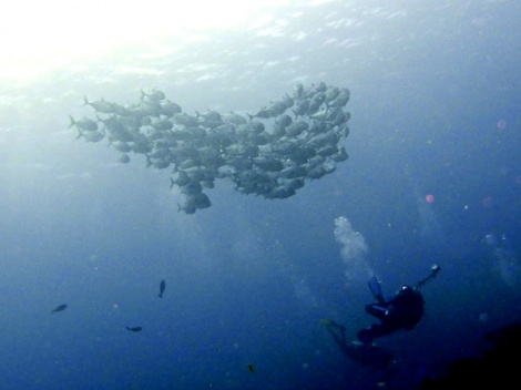jackfish_with_diver